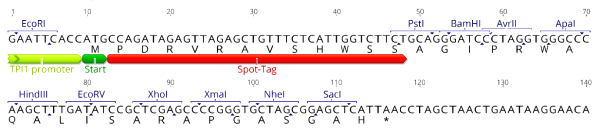 Multiple cloning site image of pSpot5