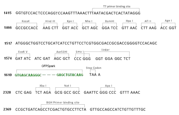 Multiple cloning site image of pCMV3-C-GFPSpark