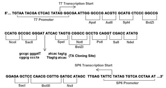 Multiple cloning site image of pGEM-T