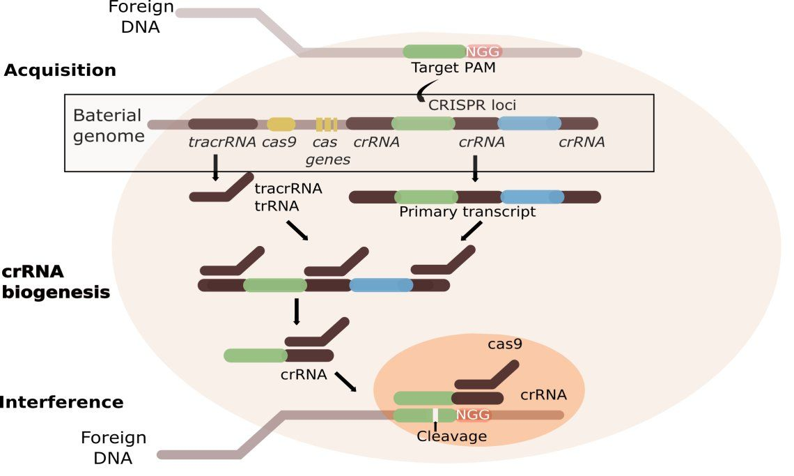 The stages of CRISPR immunity: (1) Acquisition begins by recognition of invading DNA cleavage and protospacer. (2) The primary CRISPR transcript is cleaved by cas genes to produce crRNAs.  TracrRNA  forms dsRNA, which is cleaved by Cas9 and RNaseIII.(3) Mature crRNAs associate with Cas proteins to form interference complexes. Interactions between the protein and PAM sequence lead to degradation of invading DNA.