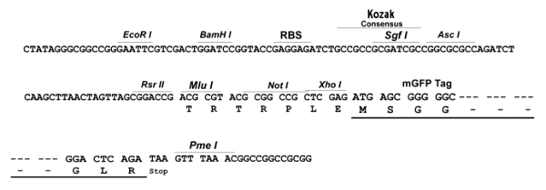 Multiple cloning site image of pLenti-C-mGFP