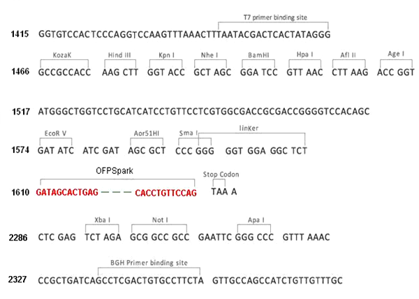 Multiple cloning site image of pCMV3-C-OFPSpark