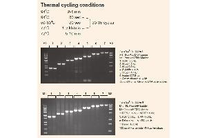 image for TransTaq® DNA Polymerase High Fidelity(HiFi) (ABIN5519575)