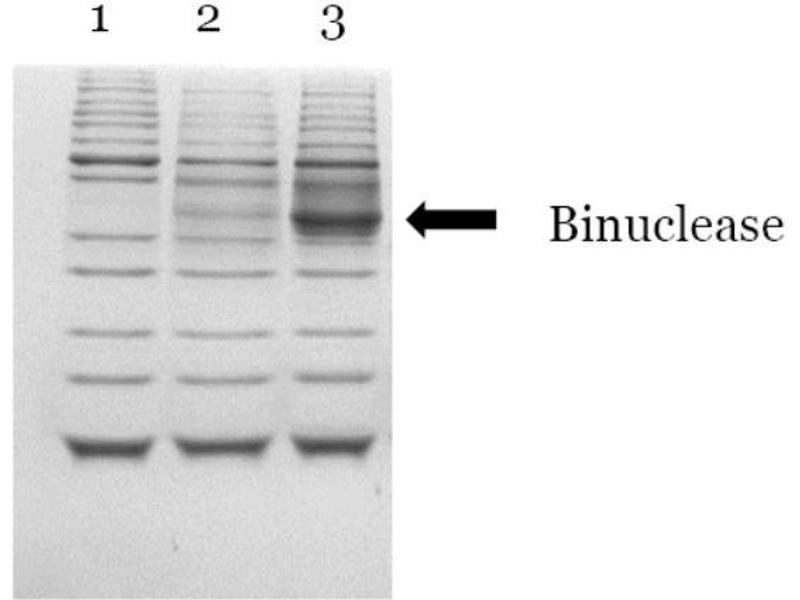 SDS-PAGE (SDS) image for Binuclease® Nuclease (ABIN6383967)