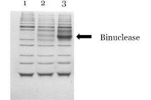 SDS-PAGE (SDS) image for Binuclease® Nuclease (ABIN6383963)