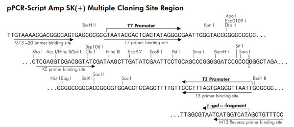 Multiple cloning site image of pPCR-Script Amp SK+